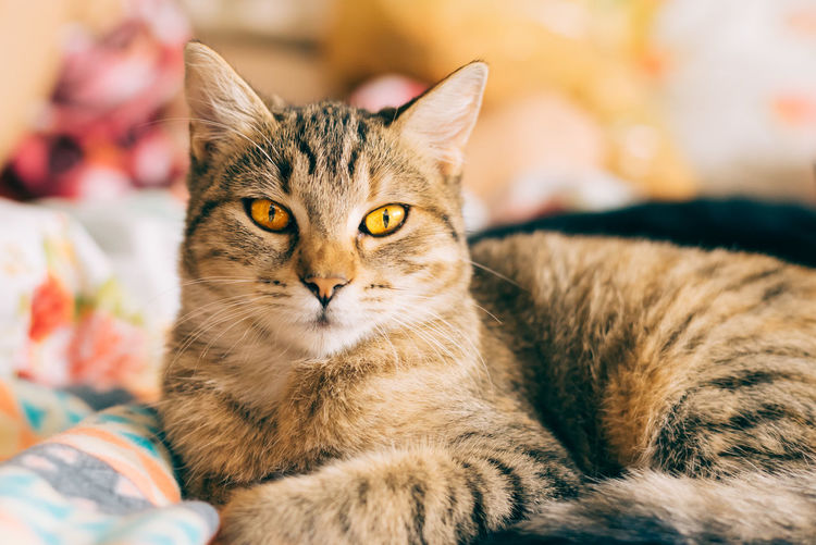 Animal Themes Brown Cat Close-up Day Domestic Animals Domestic Cat Feline Feline Portraits Golden Indoors  Mammal No People One Animal Pets Yellow Yellow Eyes