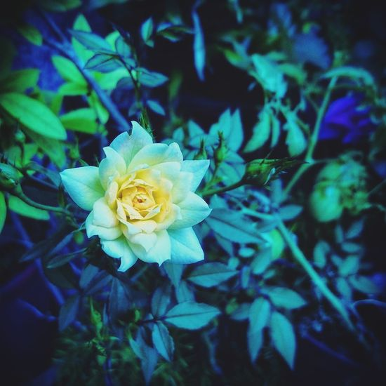 Nature Nature_collection Nature Photography Naturelovers EyeEm Nature Lover EyeEm Flower Rose🌹 Flower Yellow Green Plants 🌱 Petals Beauty In Nature 自然 花 植物 綠 黃 薔薇 光と影