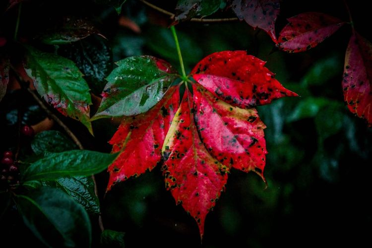 Leaf Autumn Change Close-up Red Season  Growth Leaves Beauty In Nature Nature Leaf Vein Green Color Plant Focus On Foreground Day Scenics Tranquility Natural Condition Fragility