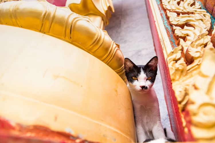 Close up small kitten with mother in the temple.Phuket.Thailand Domestic Pets Domestic Animals Mammal One Animal Domestic Cat Vertebrate Cat Feline No People Relaxation Looking At Camera Dog Canine Portrait High Angle View Indoors  Whisker Innocence Small