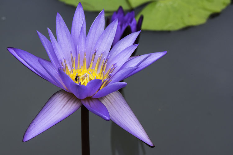 Beautiful purple lotus Flower Flowering Plant Vulnerability  Petal Close-up Purple Plant Freshness Fragility Beauty In Nature Flower Head Inflorescence Water Lily Growth Nature Water No People Pollen Lotus Water Lily Floating On Water Lake