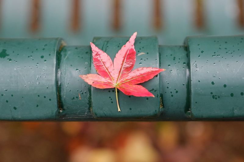 Leaf Plant Part Autumn Close-up Nature No People Drop Beauty In Nature Red Outdoors Maple Leaf Day Plant