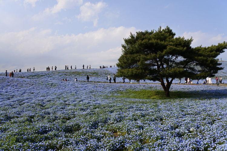 HitachiSeaSidePark Japan Nemophila Nikon Blue Flower Good Vibes Nikonphotography Travel Destinations