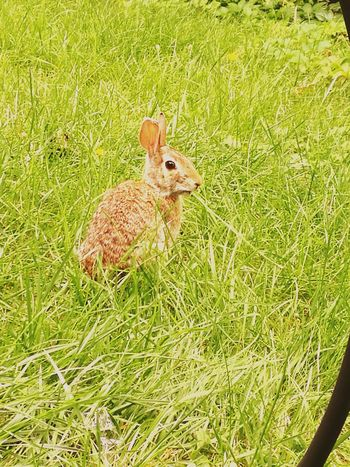One Animal Grass Animal Themes Animals In The Wild Day Outdoors Animal Wildlife Rabbit 🐇 Rabbit In My Yard Rabbit In Grass Cuteness