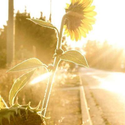 Sunflower Sunburst Eveningsun Cumberlandbc Comoxvalley Faded Sunrays Street Flowersofinstagram Outdoors