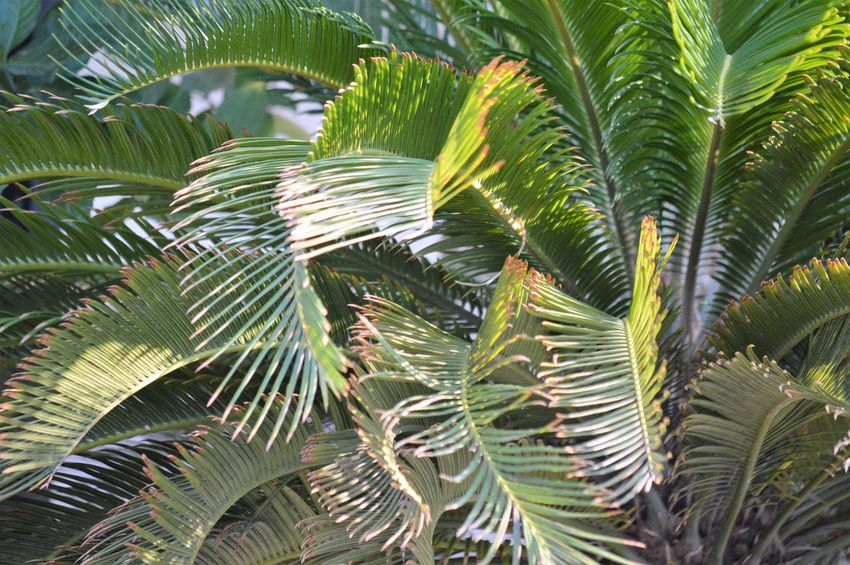 Leaf Plant Growth Palm Tree Plant Part Green Color Tree Palm Leaf Tropical Climate Beauty In Nature Nature No People Close-up Frond Day Tranquility Backgrounds Outdoors Full Frame Botany Rainforest Coconut Palm Tree