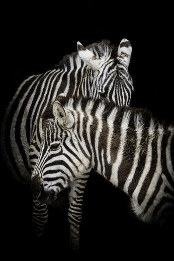 View of zebra against black background