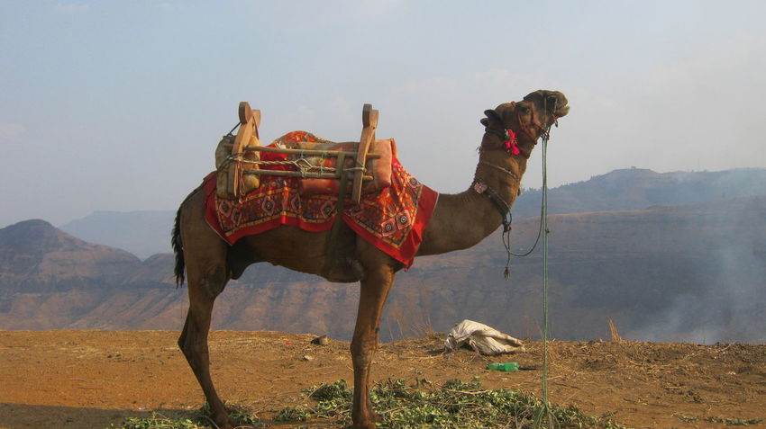 "Hi EyeEm  ""I have enough water to dose that fire""... Travel Photography Camel EyeEm Animal Lover Pune India"