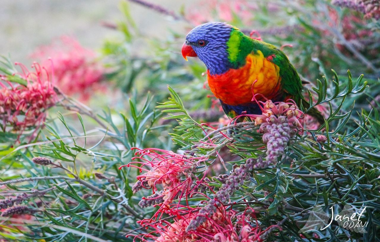 vertebrate, bird, animal themes, animal, one animal, animal wildlife, parrot, animals in the wild, plant, rainbow lorikeet, multi colored, no people, day, nature, perching, beauty in nature, flowering plant, flower, close-up, selective focus