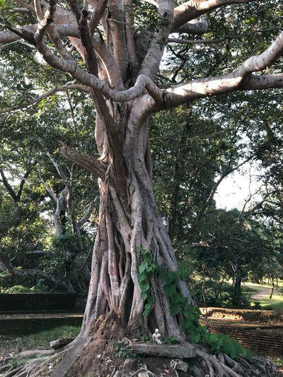 Sri Lanka Tree