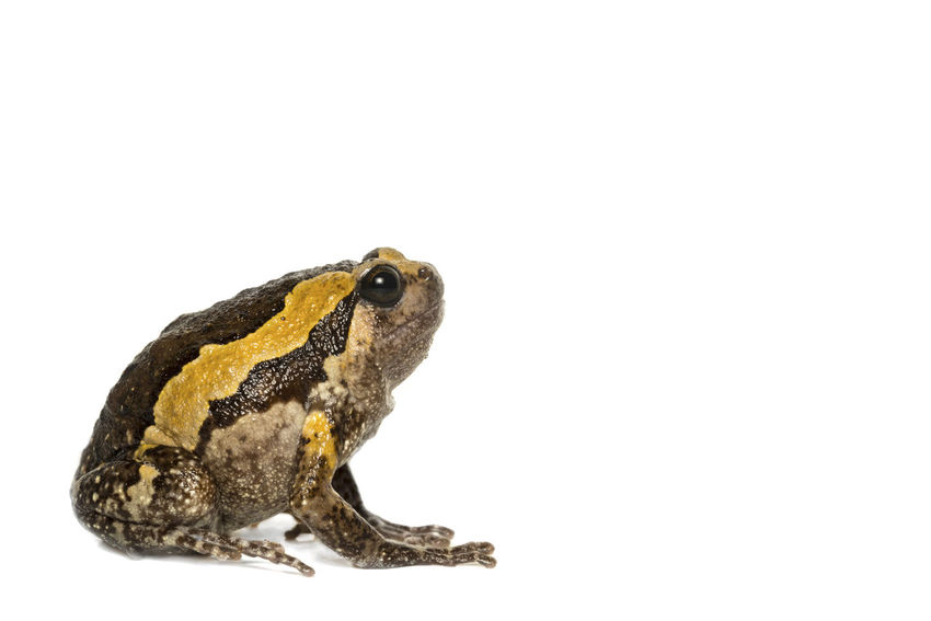 Bulldog on white background Animal Animal Body Part Animal Themes Animal Wildlife Animals In The Wild Brown Close-up Copy Space Cut Out Frog Full Length Indoors  Marine Nature No People One Animal Reptile Side View Studio Shot Vertebrate White Background