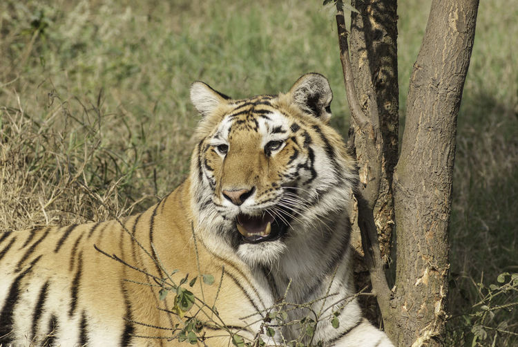 """A photo of a Royal Bengal Tiger, taken inside the Delhi Zoo in India. The tiger was at rest in its enclosure, but not sleeping. This is an open enclosure, separated from visitors and the rest of the zoo by a large moat, hopefully preventing the tiger from escaping. The Delhi Zoo is a prominent part of the tourist circuit of Delhi, along with being the destination for a large number of children. The zoo occupies a space of 176 acres in Delhi, next to the Purana Qila in central Delhi. The zoo was opened in the year 1959, and was renamed as the National Zoological Park in 1982. The zoo has a total of animals and birds representing a total of 130 species. The zoo has some strict controls and does not allow any food items to be carried inside the zoo, with a security check at the entrance. If you decide to cover the zoo on foot, it can be tiring, although there is a provision of using a battery operated vehicle inside the zoo. <a href=""""http://www.nzpnewdelhi.gov.in/"""">Website</a> BeNGaL TiGeR Delhi Zoo Royal Bengal Tiger Animal Themes Animal Wildlife Day Delhi Zoo Tiger Mammal Nature No People One Animal Outdoors Tiger Tiger In Delhi Zoo Tiger In The Zoo Tree"""
