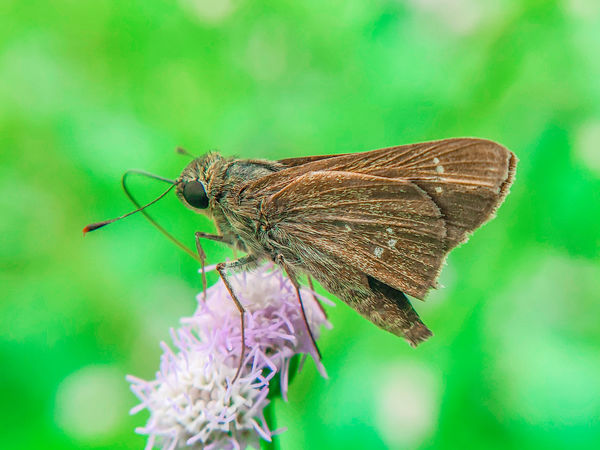 Small Skipper Macro Macro_collection Macro Photography Nature_collection Naturelovers Nature Photography Flower Full Length Leaf Insect Animal Themes Close-up Green Color Moth Butterfly Wild Animal Green Background