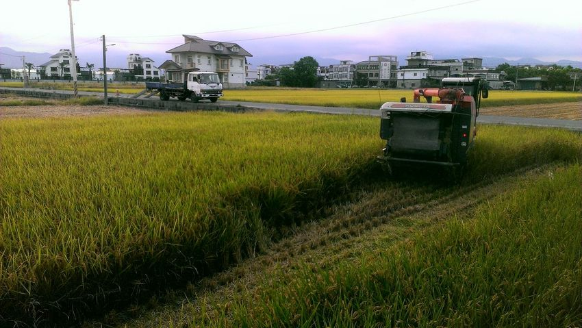 Rice Paddy The View And The Spirit Of Taiwan 台灣景 台灣情 Reap