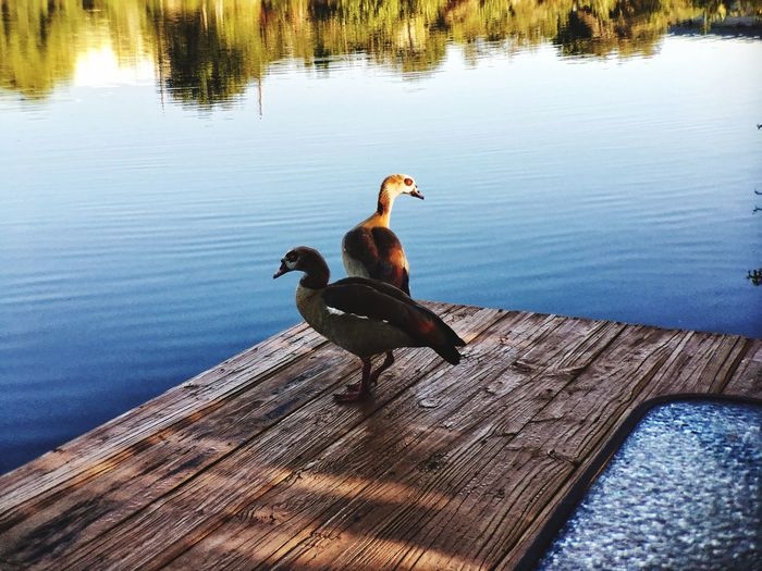 Ducks on Deck Animal Themes Lake Wood - Material Nature Animals In The Wild No People Outdoors Sunlight Beauty In Nature Tranquility EyeEmNewHere EyeEm New Here EyeEmNewHere