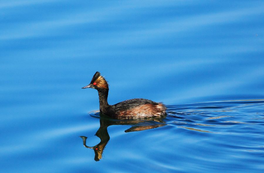 eared grebe with a cool reflection Animals In The Wild One Animal Animal Wildlife Animal Themes No People Swimming Water Bird Nature Lake Gunlock Reservoir Gunlock State Park Utah Eared Grebe Grebe Ducks Reflection Blue Blue Water