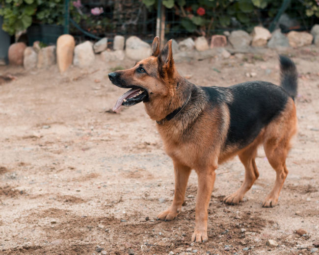 Beautiful specimen of german shepherd dog breed