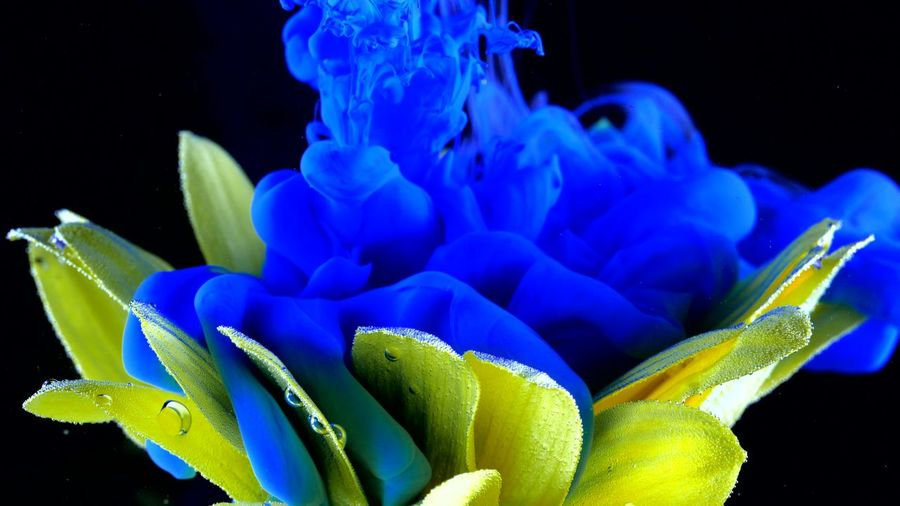 Yellow flower underwater with blue Ink reacting and creating abstract cloud formations. Blue Water Close-up No People Flower Nature Flowering Plant Plant Beauty In Nature Black Background Studio Shot Indoors  Underwater Inflorescence Freshness Green Color Growth Focus On Foreground Flower Head Purple