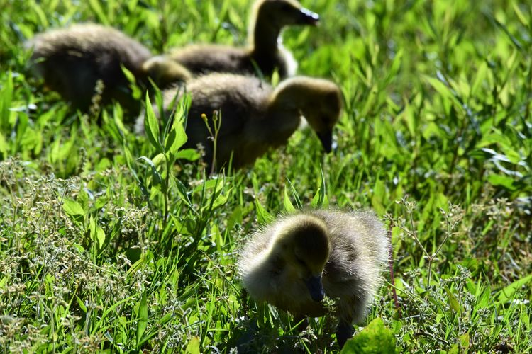 Animal Themes Animals In The Wild Bird Day Field Gosling, Canada Goose, Resting, Park, Grass Goslings Grass Green Color Growth Nature No People Outdoors Tiny Animals Young Animal
