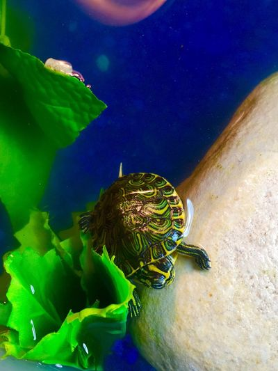 Baby Yellow Bellied Slider Baby Yellow Bellied Slider Yellow Bellied Slider Bellied Slider Turtle Aqautic Aquatic Turtle
