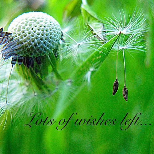 Macro Nature Macro Photography Dandelion Dandelion Seeds Spiritual Awakening Trying Something Different Quotes