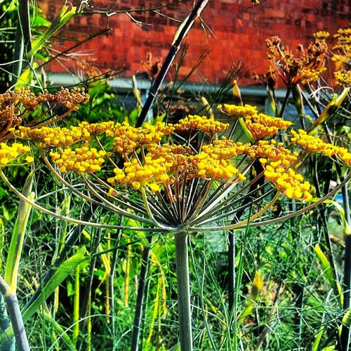 fennel flower 50 Shades Of Green