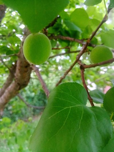 Tree Green Color Nature Fruit Low Angle View Focus On Foreground No People Leaf Food And Drink Freshness Branch Healthy Eating Outdoors Beauty In Nature Growth