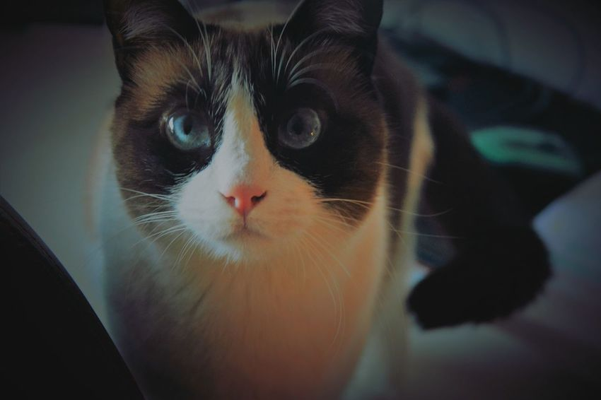 Cat Cats Snowshoe Cat Lovers Pet Domestic Life Blue Eyes Love Cats Of EyeEm Catoftheday Siamese Cat Ear Moustache Red Nose Domestic Cat Pets Eye Portrait One Animal Domestic Animals Feline Animal Looking At Camera Animal Head  No People Whisker Close-up Animal Themes Alertness Indoors  Mammal Day