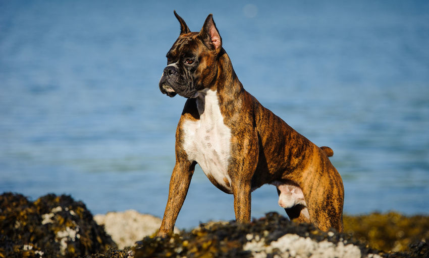 Boxer Looking Away While Standing By Lake