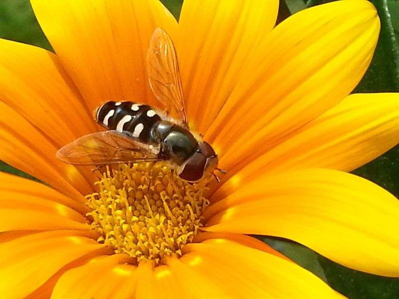 Maximum Closeness Flower Yellow Insect Flower Head Close-up Pollen Day Outdoors Nature Amaturephotography