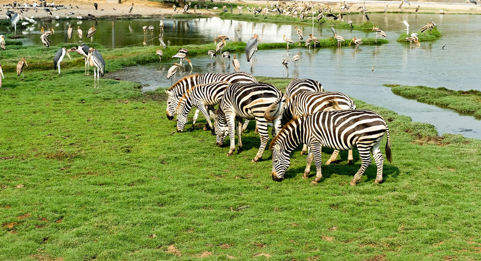Zebras on a field