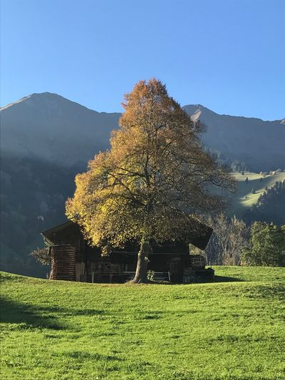 Autumn colors Fall Herbst Switzerland Berner Oberland Frutigen Growth Nature Field Mountain Beauty In Nature No People Agriculture Outdoors Landscape Clear Sky Tree