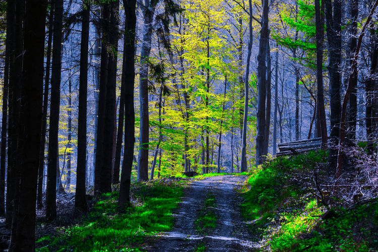 Springtime forest in the first morninglight Light Morning Path Beauty In Nature Day Direction Environment Forest Growth Land Landscape Nature No People Non-urban Scene Outdoors Plant Road Scenics - Nature Sun Sunrise The Way Forward Trail Tranquil Scene Tranquility Tree Tree Trunk Trunk WoodLand