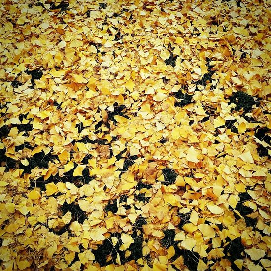 Coming of winter. December Ginkgo Yellow Nature