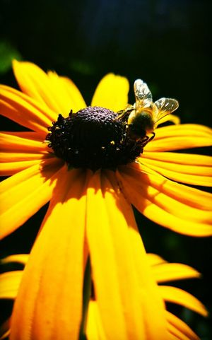 Flowers, Nature And Beauty Flower Photography Flowers Flowers,Plants & Garden Bees Flower Wildlife Nature Bees Photography Bees And Flowers Rudbeckia Bees