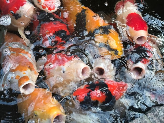 Koi Fische füttern Fische Gucken Fische Koi Mixes Koi Carps Koi Fish Koi Carp No People Backgrounds Animal Multi Colored Fish