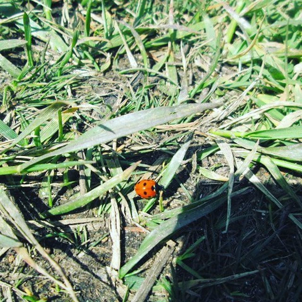 animals in the wild, animal themes, insect, wildlife, one animal, high angle view, grass, day, green color, no people, nature, outdoors, field, animal wildlife, ladybug, tiny, close-up, perching