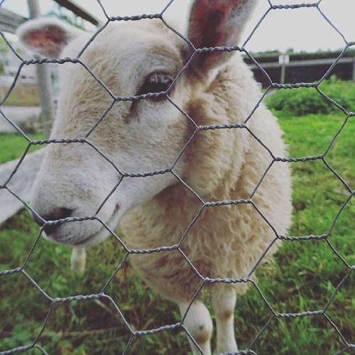 Is this sheep smiling? Sheep Foxholes Farm Mynextjumper
