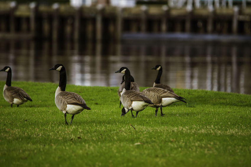 Flock of Canadian Geese on the move Canadian Geese Canadian Geese Flying LowercapefearRiver Nikond750 Riverwalk Downtown ThroughMyLens Wilmington NC WithMyTamron Birds Birdsinflight Birdsofeyeem Birdsofinstagram Cape Fear River Outdoors Portcity Tamron150600mm Tamronusa