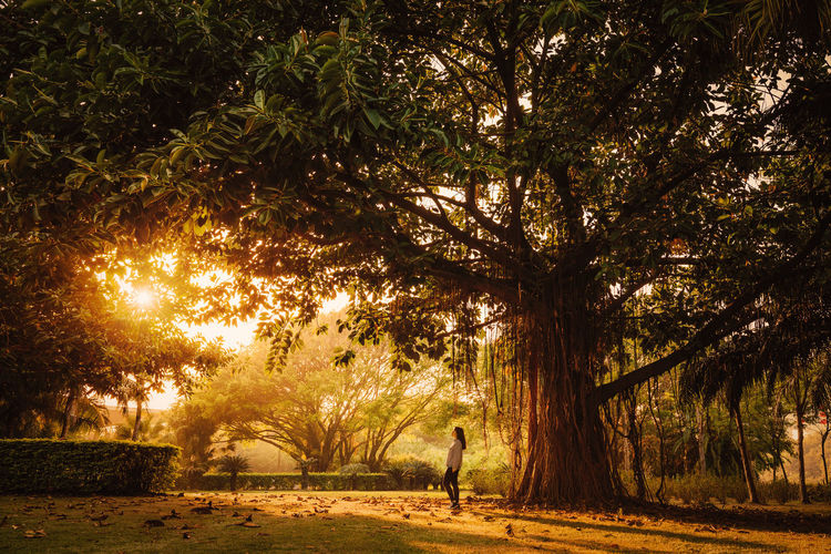 Side view of woman standing by banyan tree on field during sunset