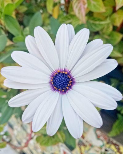 Flower Petal Flower Head Fragility Beauty In Nature Nature Day White Color Outdoors Pollen Freshness Growth Focus On Foreground No People Osteospermum Plant Close-up EyeEm Best Shots - Black + White High Angle View EyeEm Best Edits Beauty In Nature Tranquility Nature EyeEm