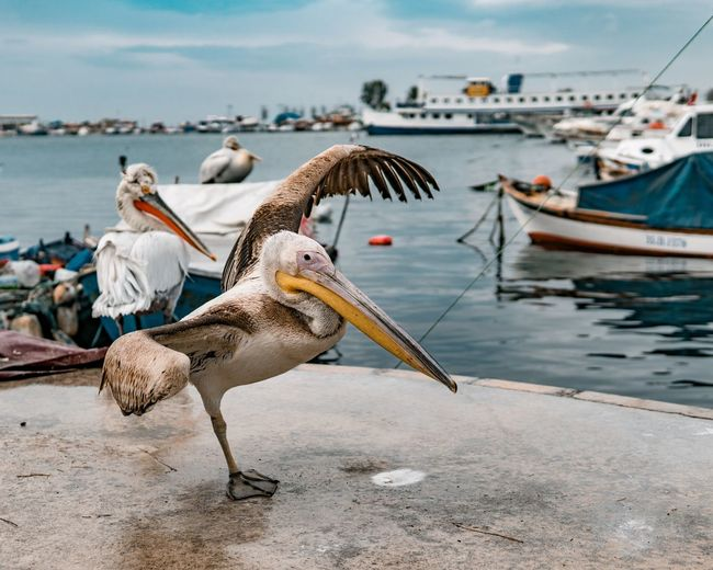 Pelicans on shore