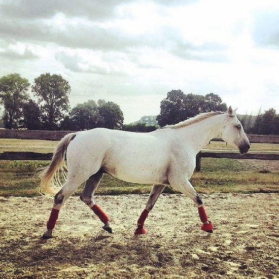 Pferd Schimmel Horse Horsesofinstagram Equestrian Ilovemyhorse Horselove Warmblut Grannus Showjumping Picoftheday Love