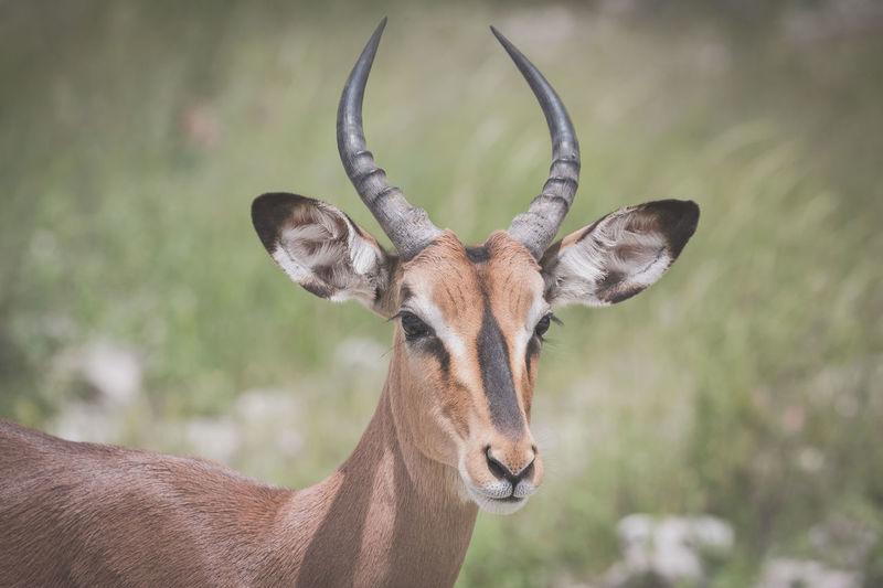 Animal Themes Animal Wildlife Animals In The Wild Antilope Close-up Day Horned Animals Looking At Camera Mammal One Animal Safari Safari Animals Safari Park