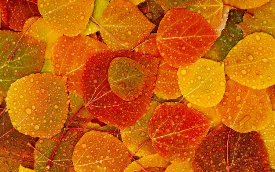 Dew scattered over fallen fall leaves Cottonwood Trees Dew On Leaves Fall Fall Beauty Fall Colors Fall_collection Forest Photography Orange Raindrops Yellow