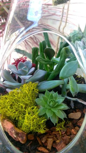 succulent terrarium.photo by Shell Sheddy Terrarium Shellsheddyphotography Sheshephoto The Great Outdoors - 2018 EyeEm Awards Photo Journalism Documentary Photography Greenhouse Leaf Herb Cactus Potted Plant Close-up Succulent Plant Aloe Vera Plant Prickly Pear Cactus Plant Life Spiked