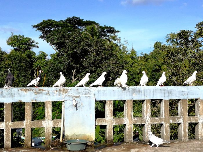 Pegions White Pegions Disciplined Birds Rooftop Picture Background Trees Afternoon Sky Hot Summer Day Trees And Sky Background One Grey Pegion Pets Perfect Blue Sky
