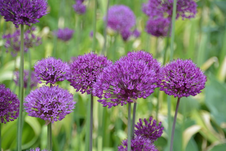 Close-up of allium flowers blooming outdoors