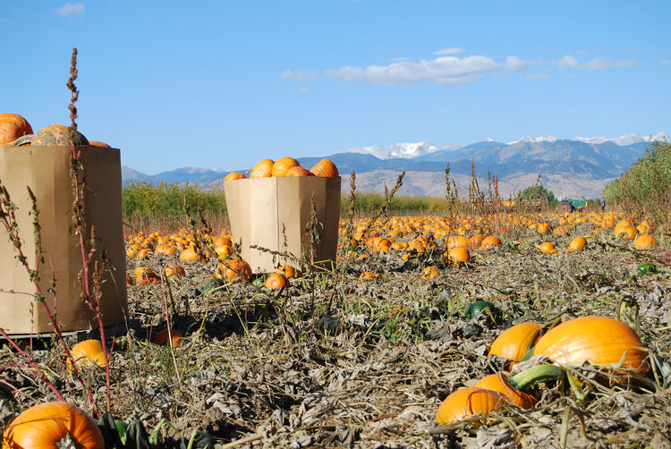 Harvesting pumpkins in autumn / fall. Field Growth Halloween Halloween Horrors Harvest Landscape Mountain Nature No People Orange Color Outdoors Plant Pumpkin Sky USA Yellow