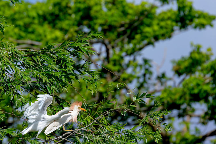 Low Angle View Of Cattle Egrets Perching On Tree